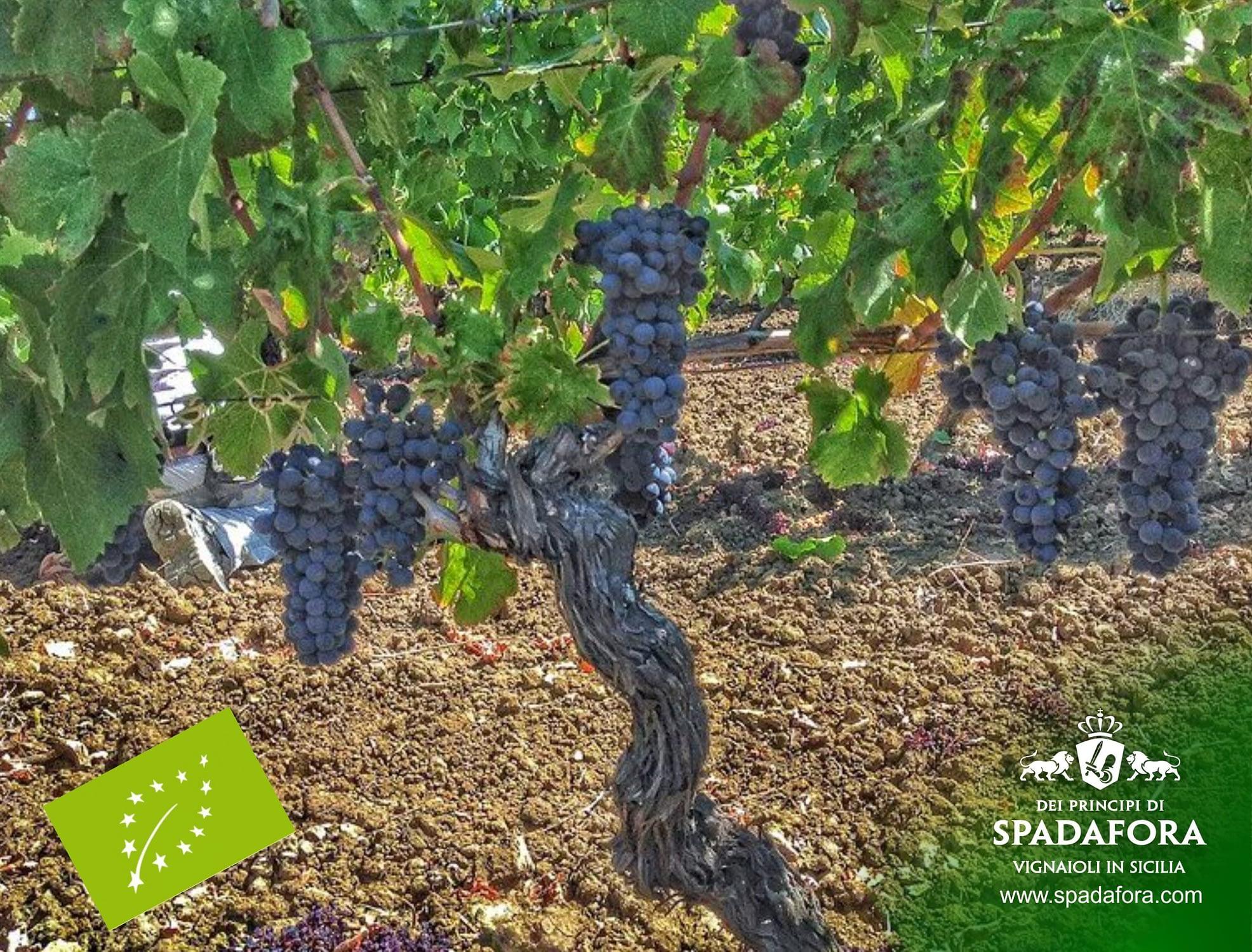 vendita online vino biologico siciliano, Dei Principi di Spadafora