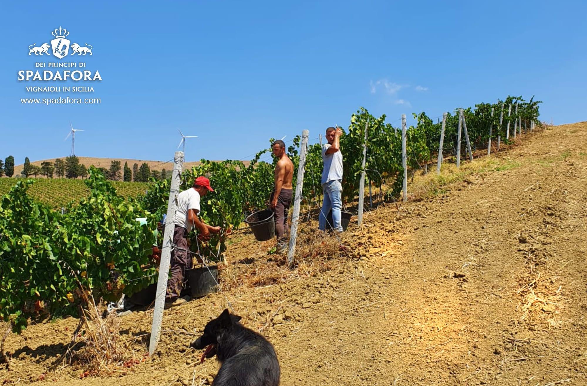 Vendemmia vino biologico siciliano